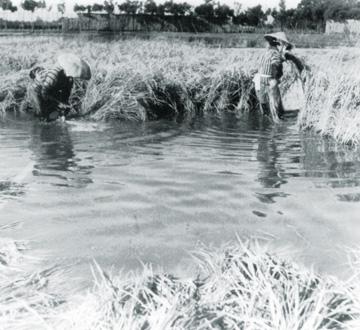 深田での稲刈り