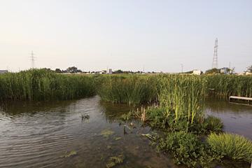 丸潟新田の再生湿地。水を張って半年で、かつての生物が戻ってきた。